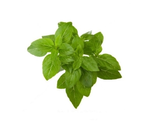 basil-essential-oil-7