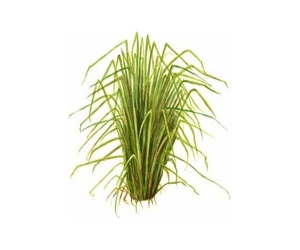 vetiver-essential-oil9