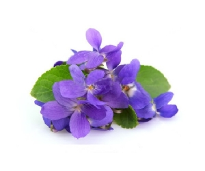 violet-essential-oil9